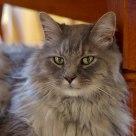 Silver the Cape Breton Cat