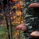 Mushrooms on Birch
