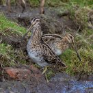 A Snipe or Two