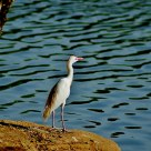 Yellow billed Egret @ Zoo Lake