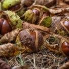 Chestnut still life