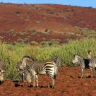 Zebras on red earth Namibian landscape