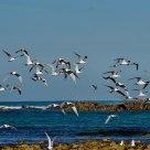 Flock of Arctic Terns