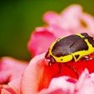 Garden Fruit Chafer Beetle