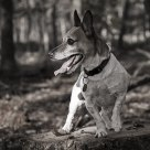 Jack Russel in the wood