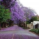 Jacaranda glory in Johannesburg