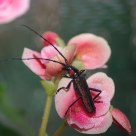Insect in the rose