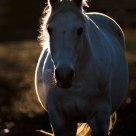 Backlit white horse