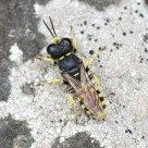 The crabronid Ectemnius sexcinctus
