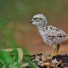 Spotted Thick Knee Chick