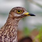 Portrait of a Spotted Thick Knee