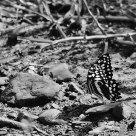 Bbutterfly