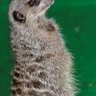 Meerkat standing tall
