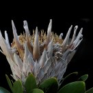 Dry King Protea