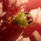 Insect-heteroptera