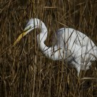 tra le canne - among the reeds (Airone bianco - White heron)