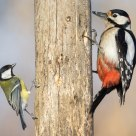 Great Tit  (Parus major) and Great Spotted Woodpecker (Dendrocopos major)