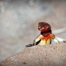 Lava lizard wearing his armor.