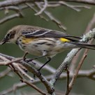 Yellow Rumped Warbler in persimmon tree