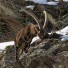 Stambecco (Capra Ibex) in Valsavarenche