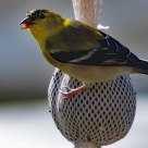 American GoldFinch transitional male