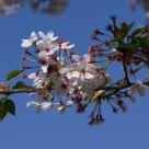 Cherry Blossoms (Sakura) all'EUR