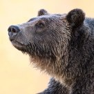 Adult Female Grizzly Bear with Fall Colours reflecting off out of focus Water
