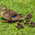 Mallard Mom and Ducklings