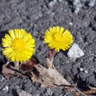 Coltsfoot growing in a crack in the asphalt
