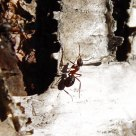 Ant on a birch