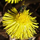 Green fly on a coltsfoot