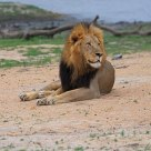 Male lion at rest in dry season