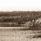 Reed Marsh