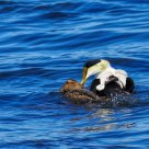 Mating pair of commom eiders
