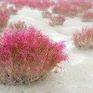 Seepweed