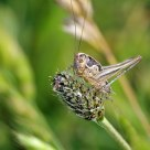 A young grasshopper