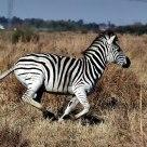 Galloping Zebra