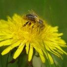Bee diving for pollen