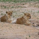 Lionesses at rest