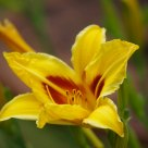 Yellow Delight (Lily)