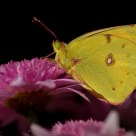 Butterfly (Colias croceus)