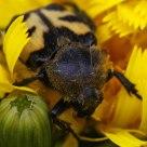Beetlebee II