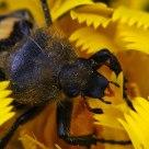 Beetlebee III