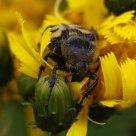 Beetlebee IV