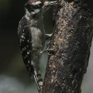 Juvenile Downy Woodpecker pecks for peanut butter