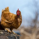 Winter Chicken