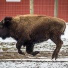 Buffalo Gallop