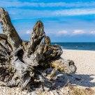 Old beach tree